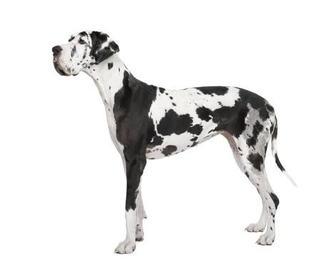 Berechung des wahrscheinlichen Gewichtes - Dogge