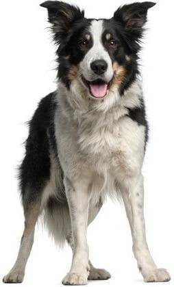 Mischlingshund oder Border Collie? Wir haben die Antwort