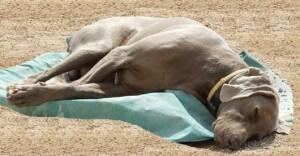 Urlaub mit dem Hund - Die schönste Zeit des Jahres - Böses Mitbringsel aus dem Urlaub - Hitzschlag beim Hund