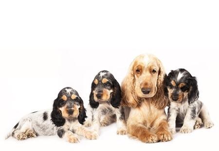 Züchter von Hunden