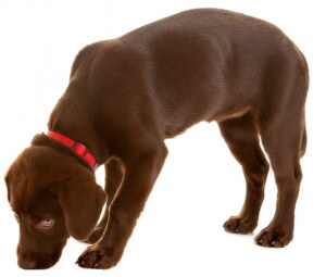 DLA Haplotypenstudie beim Labrador Retriever