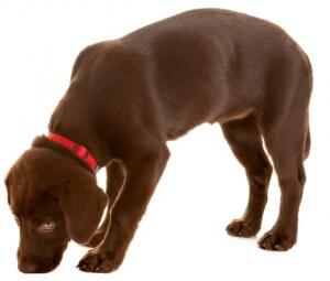 DLA Haplotypenstudie beim Labrador Retriever