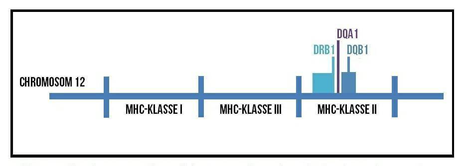 Wissenschaft einfach erklärt:  Der MHC-Komplex und die 3 DLA Gene