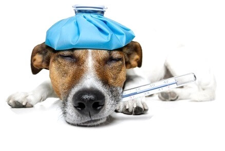 Genetische Erkrankungen in der Hundezucht