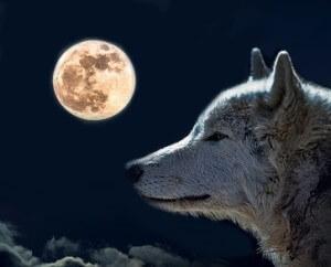 MHC-Gene Der Wolf - Sinnbild für Männlichkeit