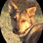 Rassebestimmung DNA Test Hund Wolli