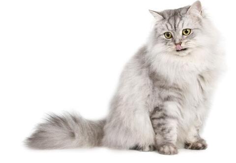Züchter von Katzen